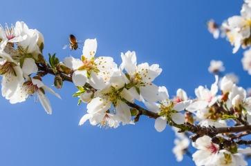 almond-tree-2090030_1280